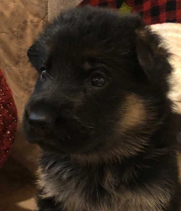 West German Shepherd Puppies for Sale