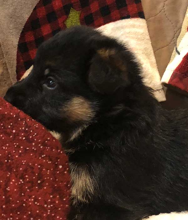 Perfect female GSD puppy red and black