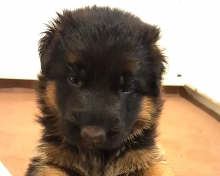 West German Shepherd Female Puppy for Sale